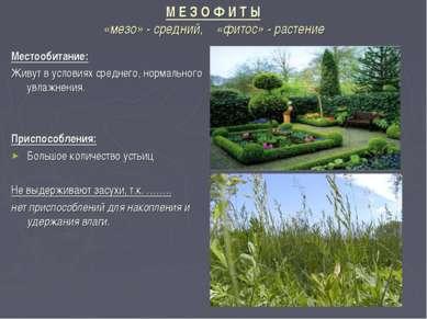 М Е З О Ф И Т Ы «мезо» - средний, «фитос» - растение Местообитание: Живут в у...