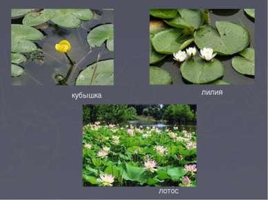 кубышка лилия лотос
