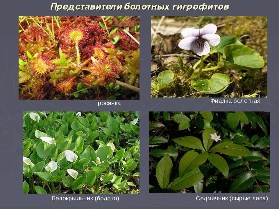 Представители болотных гигрофитов Фиалка болотная Седмичник (сырые леса) Бело...