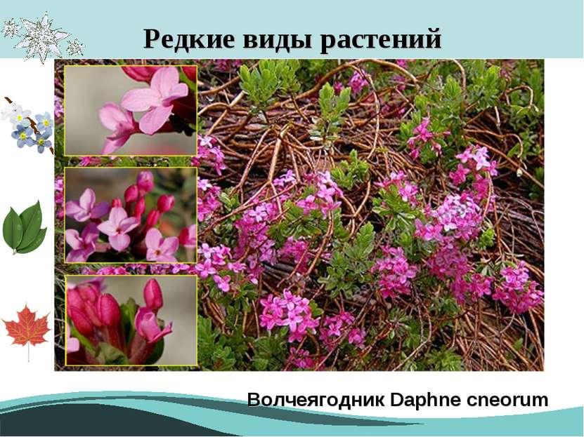 Редкие виды растений Волчеягодник Daphne cneorum