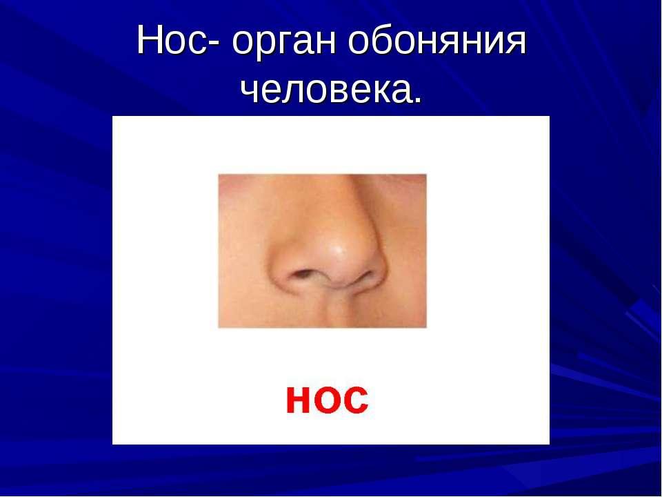 Нос- орган обоняния человека.