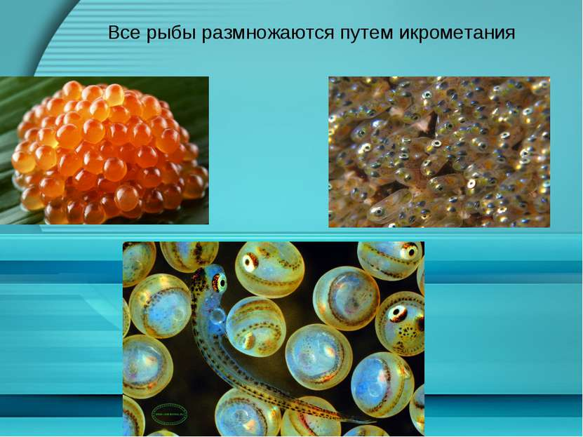 Все рыбы размножаются путем икрометания