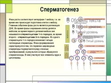 Cперматогенез Фаза роста соответствует интерфазе 1 мейоза, т.е. во время нее ...