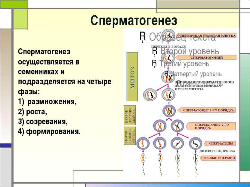 Cперматогенез Сперматогенез осуществляется в семенниках и подразделяется на ч...
