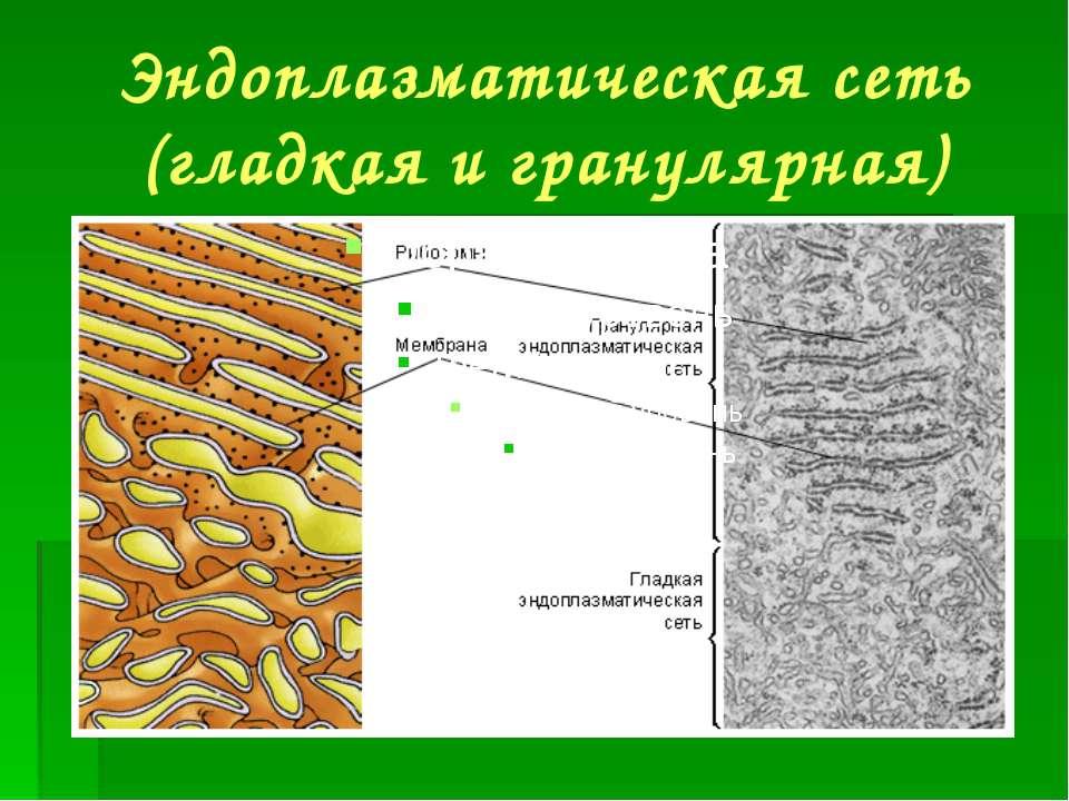 Эндоплазматическая сеть (гладкая и гранулярная)