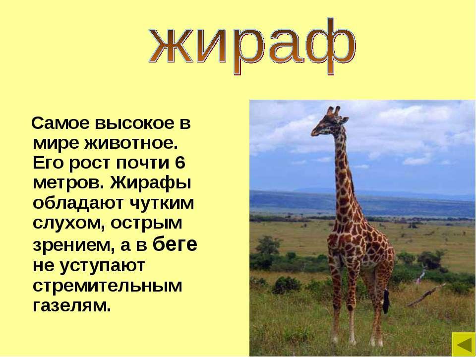 Самое высокое в мире животное. Его рост почти 6 метров. Жирафы обладают чутки...