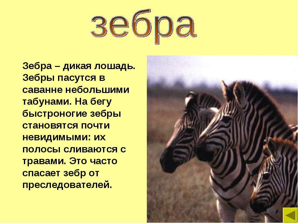Зебра – дикая лошадь. Зебры пасутся в саванне небольшими табунами. На бегу бы...