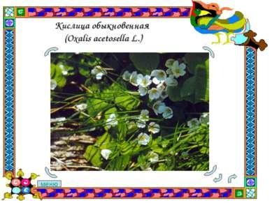 Кислица обыкновенная (Oxalis acetosella L.) меню