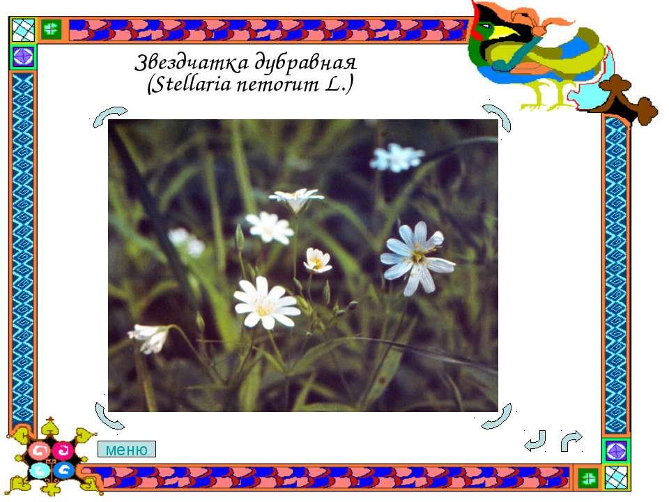Звездчатка дубравная (Stellaria nemorum L.) меню