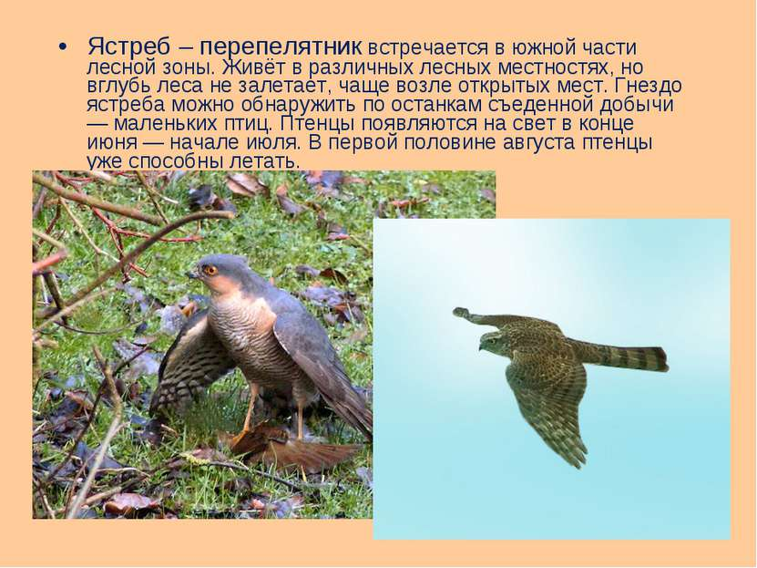 Ястреб – перепелятник встречается в южной части лесной зоны. Живёт в различны...