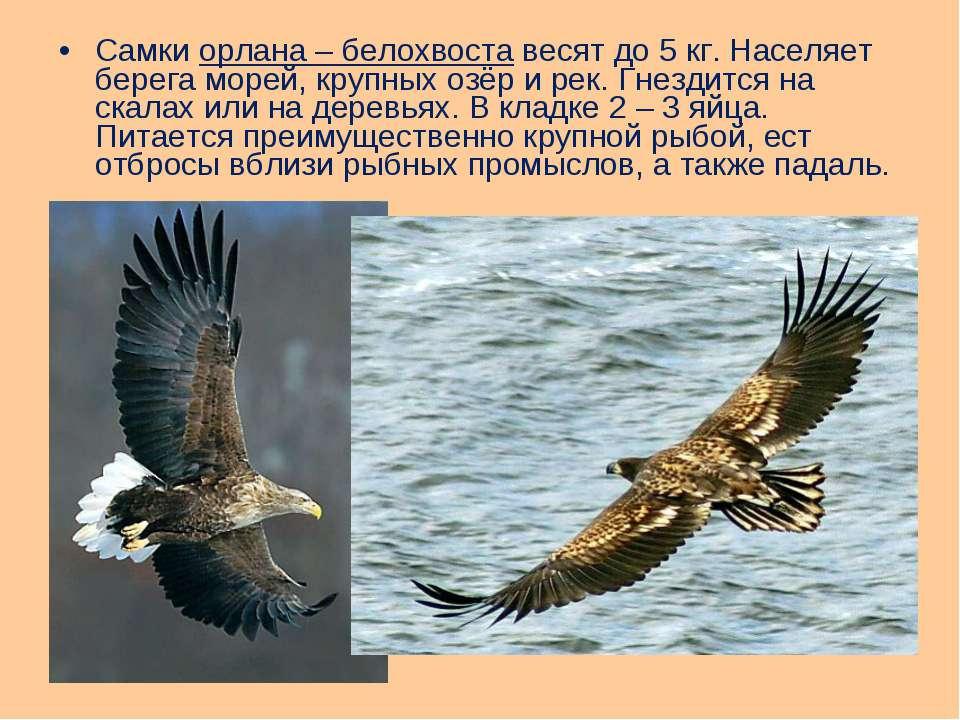 Самки орлана – белохвоста весят до 5 кг. Населяет берега морей, крупных озёр ...