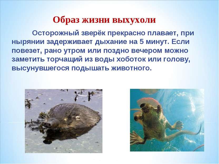 Образ жизни выхухоли Осторожный зверёк прекрасно плавает, при нырянии задержи...