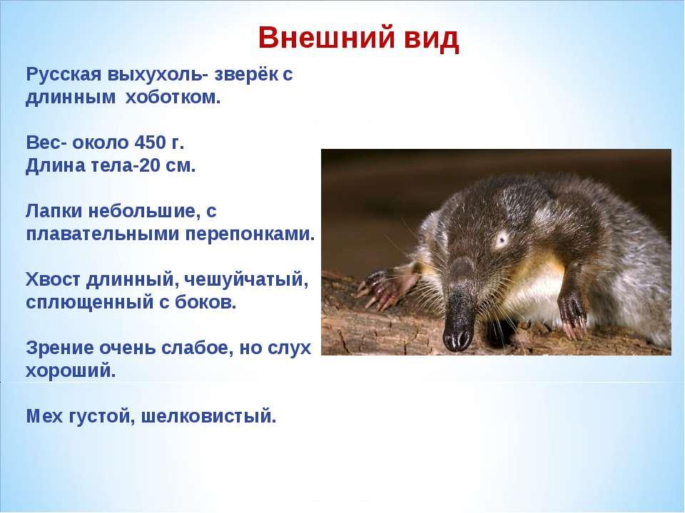 Русская выхухоль- зверёк с длинным хоботком. Вес- около 450 г. Длина тела-20 ...