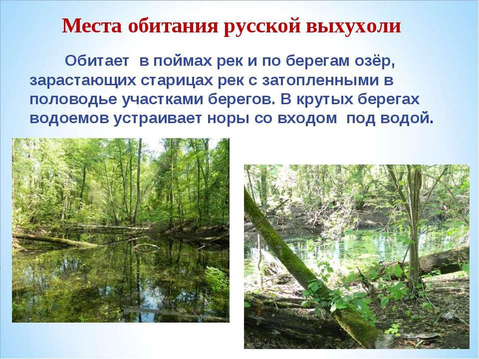 Места обитания русской выхухоли Обитает в поймах рек и по берегам озёр, зарас...