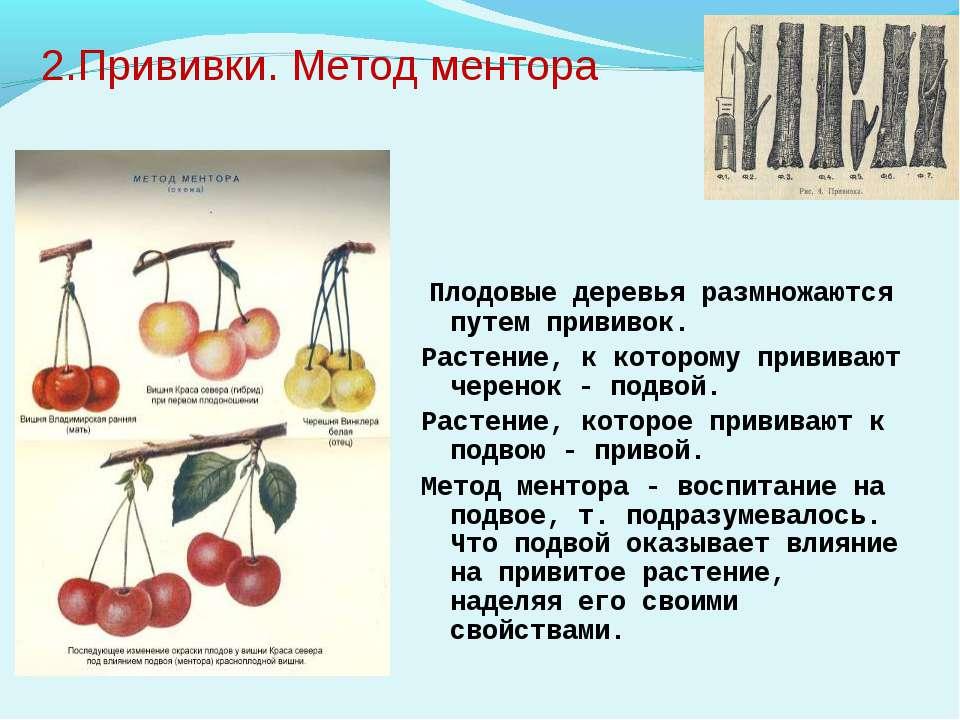 2.Прививки. Метод ментора Плодовые деревья размножаются путем прививок. Расте...
