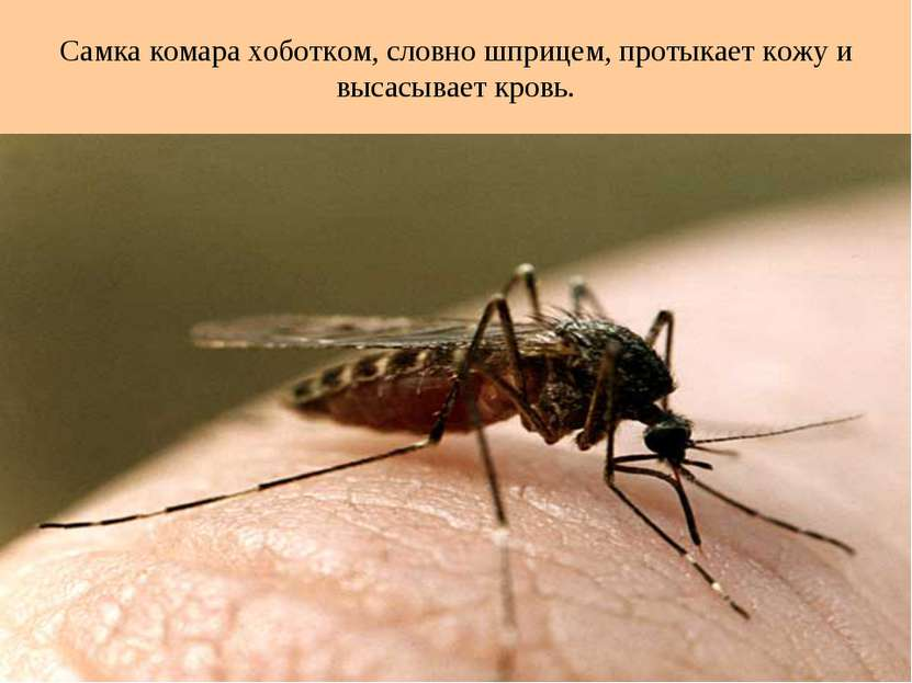 Самка комара хоботком, словно шприцем, протыкает кожу и высасывает кровь.
