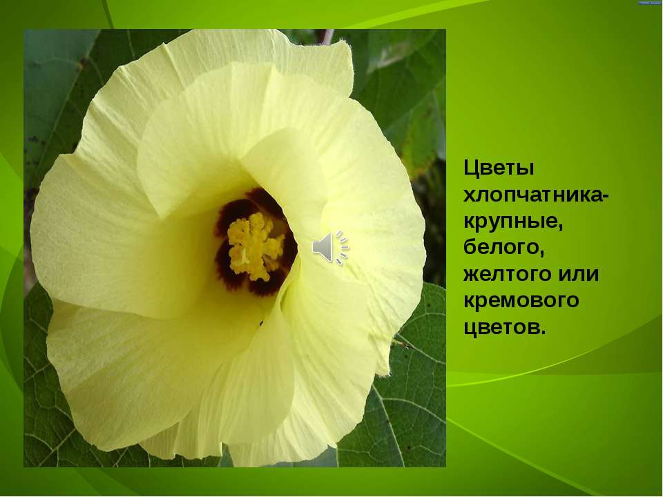 Цветы хлопчатника- крупные, белого, желтого или кремового цветов.