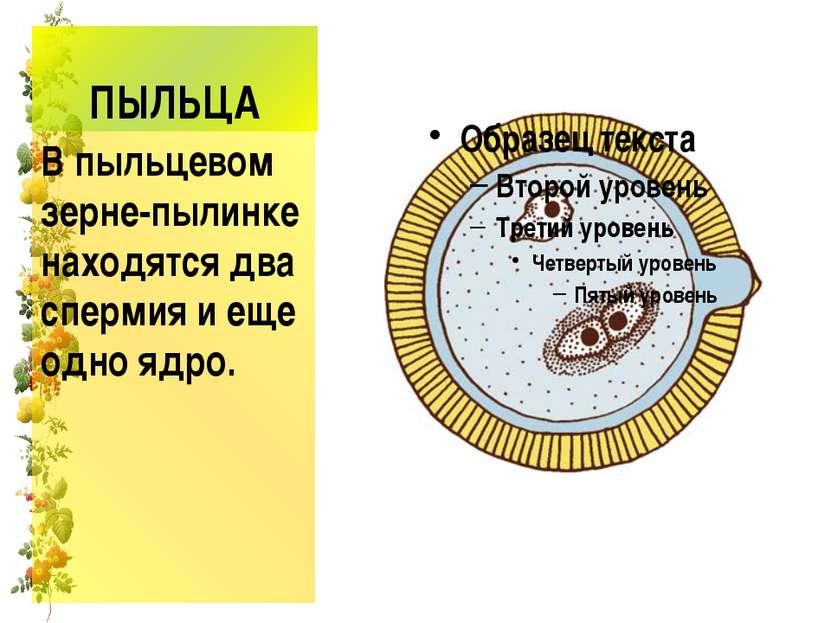 ПЫЛЬЦА В пыльцевом зерне-пылинке находятся два спермия и еще одно ядро.