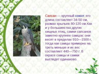 Сапсан— крупный сокол: его длина составляет 34-50см, размах крыльев 80-120...