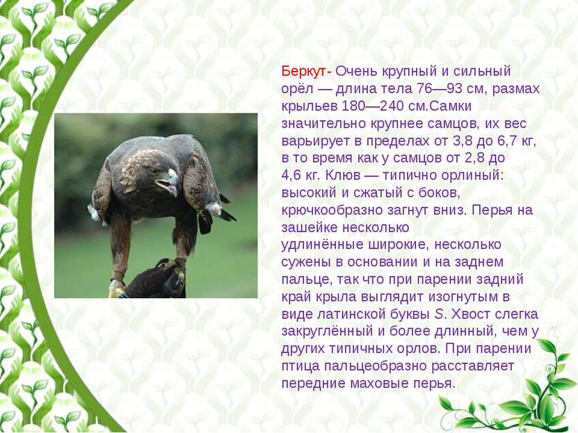 Беркут- Очень крупный и сильный орёл— длина тела 76—93см, размах крыльев 18...