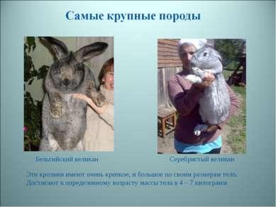 Бельгийский великан Серебристый великан Эти кролики имеют очень крепкое, и бо...