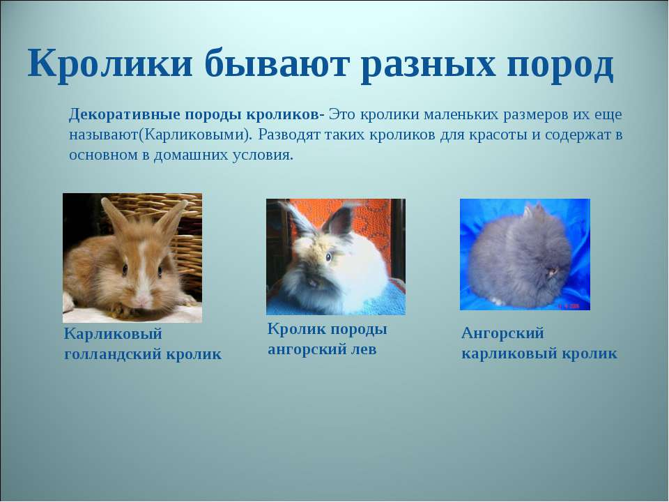 Кролики бывают разных пород Декоративные породы кроликов- Это кролики маленьк...
