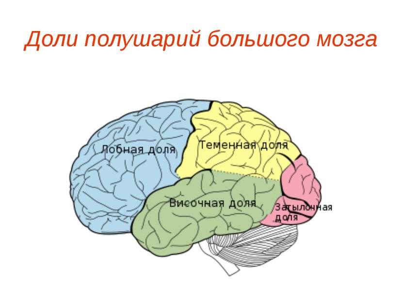 Доли полушарий большого мозга