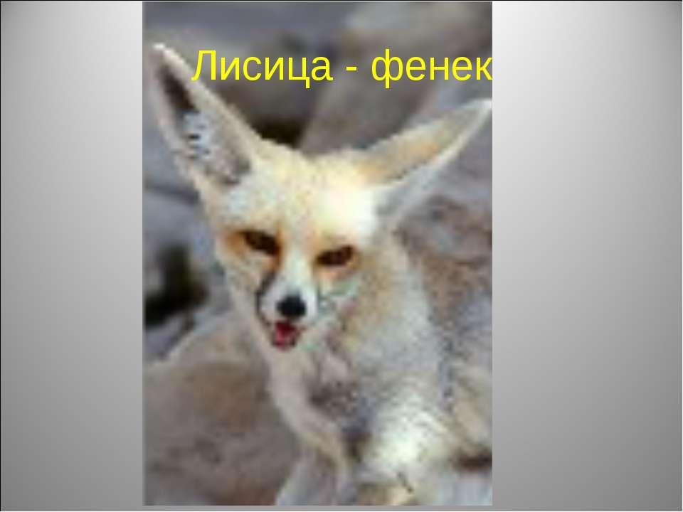 Лисица - фенек