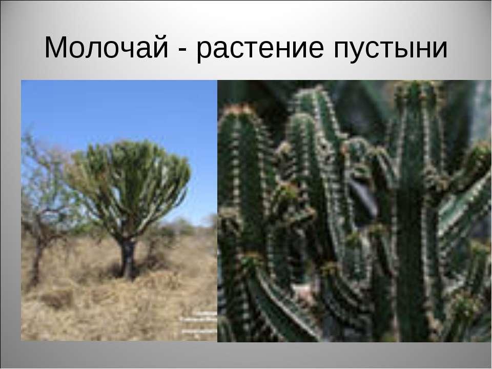 Молочай - растение пустыни