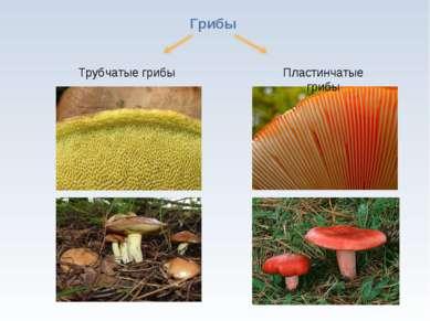 * Грибы Трубчатые грибы Пластинчатые грибы