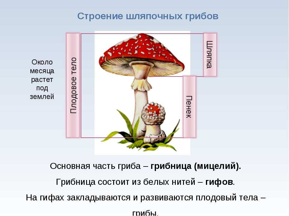 * Строение шляпочных грибов Основная часть гриба – грибница (мицелий). Грибни...