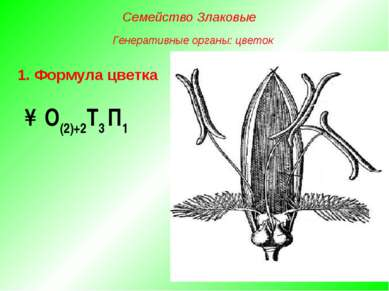 ↑О(2)+2Т3 П1 1. Формула цветка Семейство Злаковые Генеративные органы: цветок