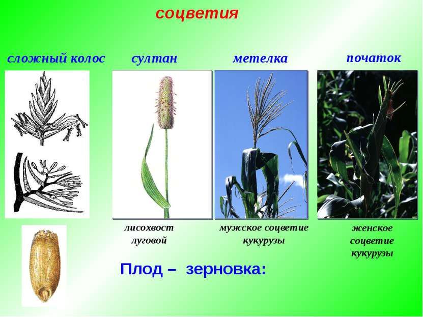 Плод – зерновка: сложный колос метелка султан початок лисохвост луговой мужск...