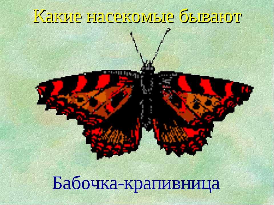 Бабочка-крапивница Какие насекомые бывают