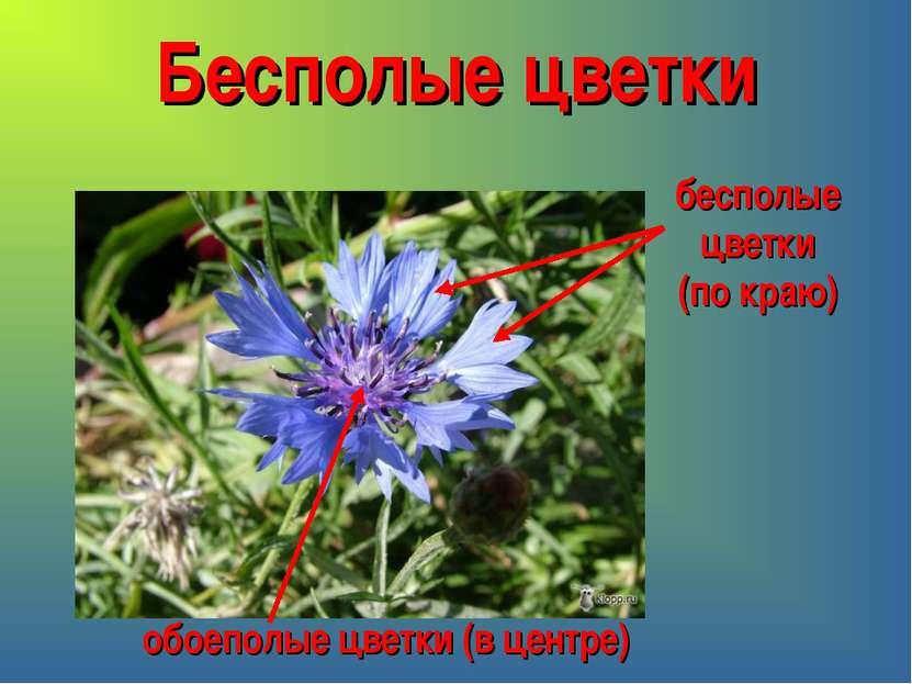 Бесполые цветки бесполые цветки (по краю) обоеполые цветки (в центре)