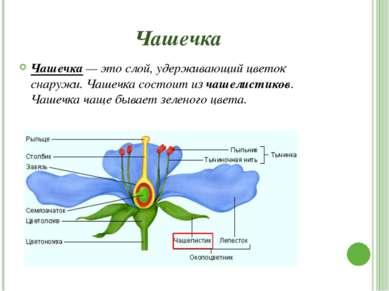 Пестик Пестик — располагается в середине (или центре) цветка. Он состоит из т...