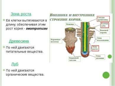 Зона роста Её клетки вытягиваются в длину, обеспечивая этим рост корня - геот...