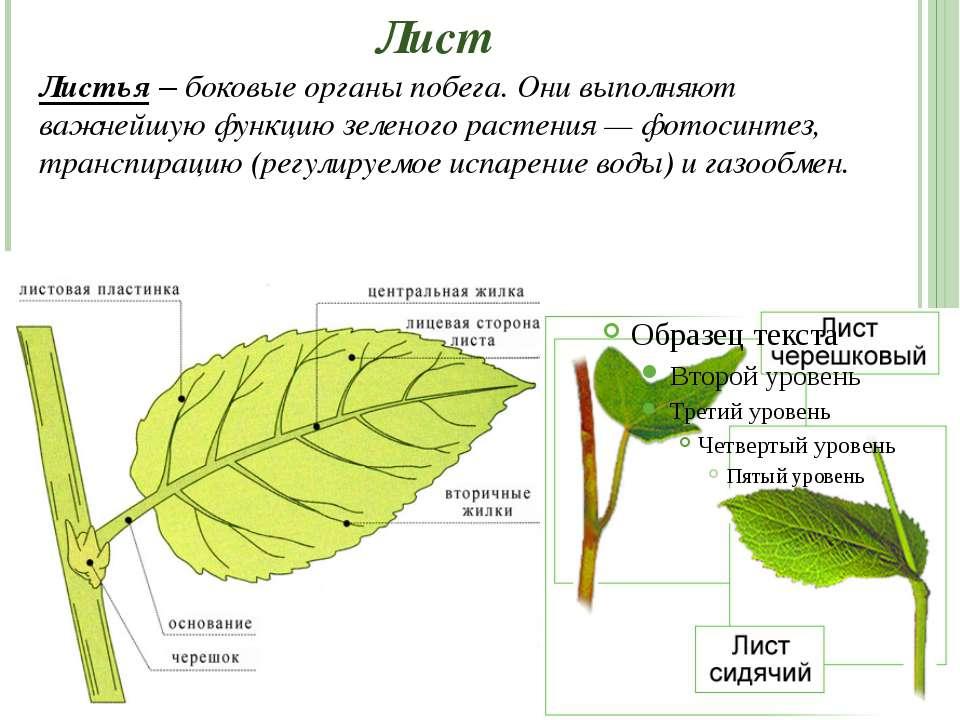 Лист Листья – боковые органы побега. Они выполняют важнейшую функцию зеленого...