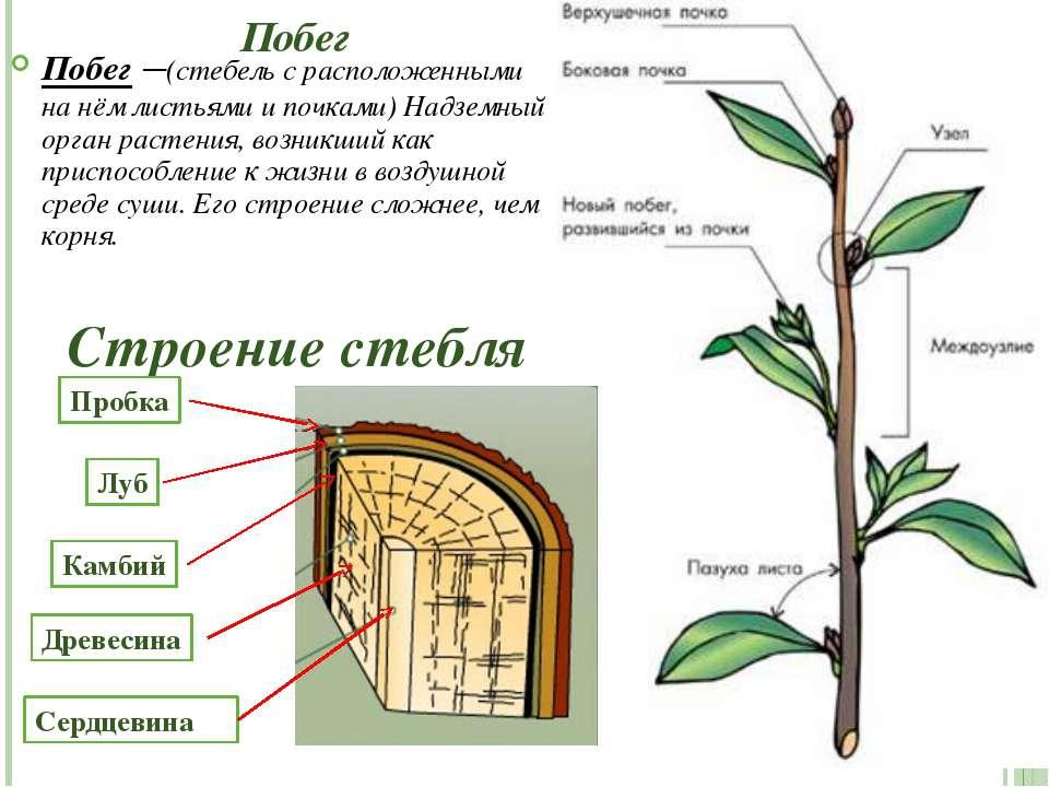 Побег Побег –(стебель с расположенными на нём листьями и почками) Надземный о...