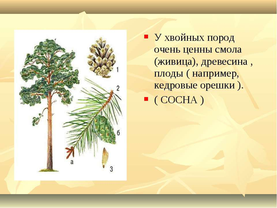 У хвойных пород очень ценны смола (живица), древесина , плоды ( например, кед...