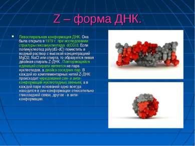 Z – форма ДНК. Левоспиральная конформация ДНК. Она была открыта в 1979 г. при...