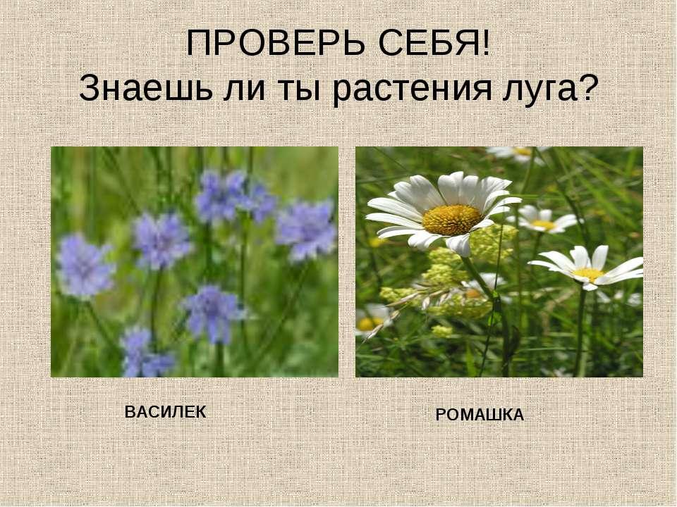 ПРОВЕРЬ СЕБЯ! Знаешь ли ты растения луга? ВАСИЛЕК РОМАШКА