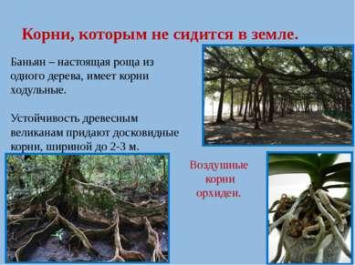 Корни, которым не сидится в земле. Баньян – настоящая роща из одного дерева, ...