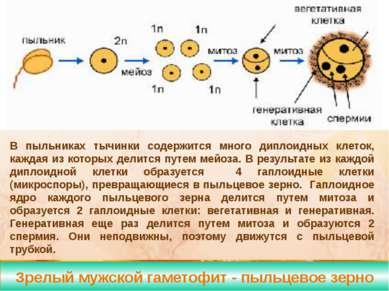 зрелый женский гаметофит- зародышевый мешок Формирование яйцеклетки у покрыто...