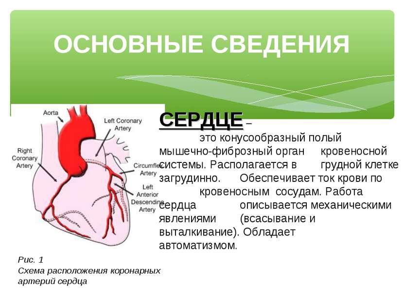 ОСНОВНЫЕ СВЕДЕНИЯ СЕРДЦЕ – это конусообразный полый мышечно-фиброзный орган к...