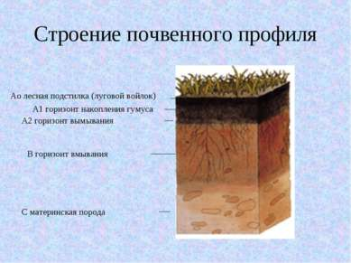 Строение почвенного профиля Аo лесная подстилка (луговой войлок) А1 горизонт ...