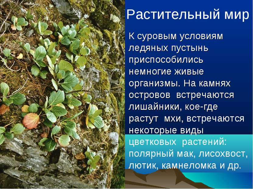 Растительный мир К суровым условиям ледяных пустынь приспособились немногие ж...