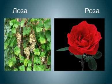 Лоза Роза