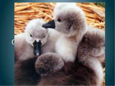 Птенцы лебедя Отчего течет вода С этого младенца? Он недавно из пруда, Дайте ...