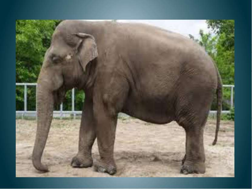 Старый слон Спит спокойно Старый слон. Стоя спать Умеет он. С. Маршак